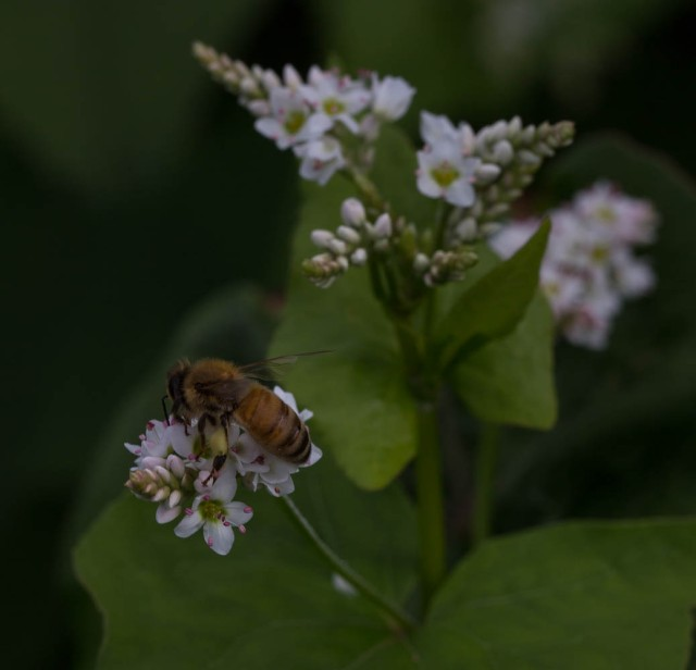 bee on buckwheat flower