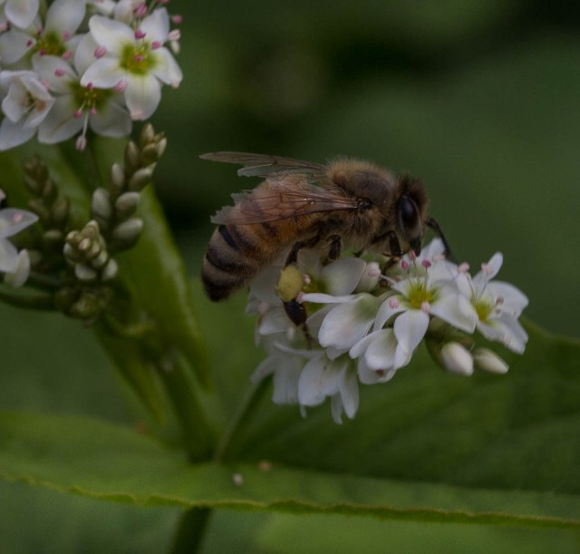 bee with pollen on buckwheat flowers