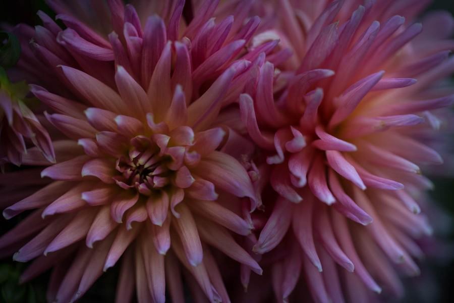 Cactus dahlia flowers