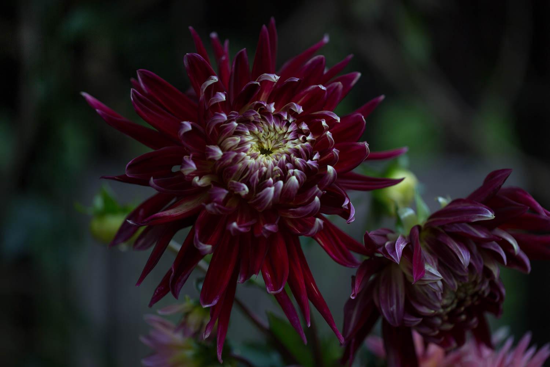 dahlia flowers Akita