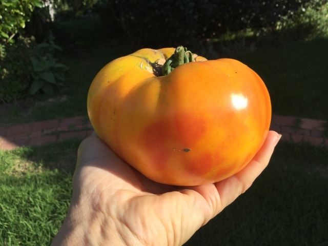 Big orange tomato saved seed organically grown