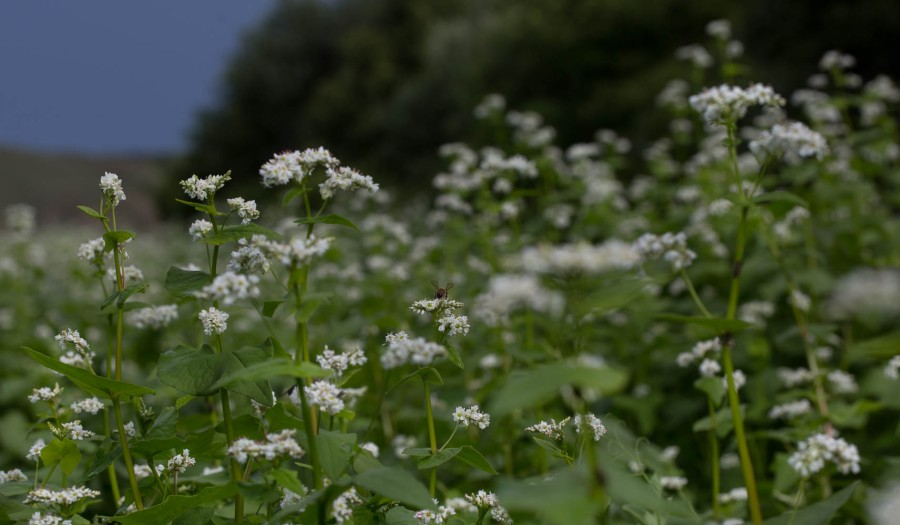 field of buckwheat flowers with bees