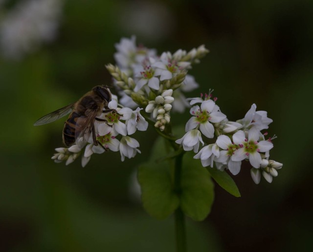 hoverfly on buckwheat flower