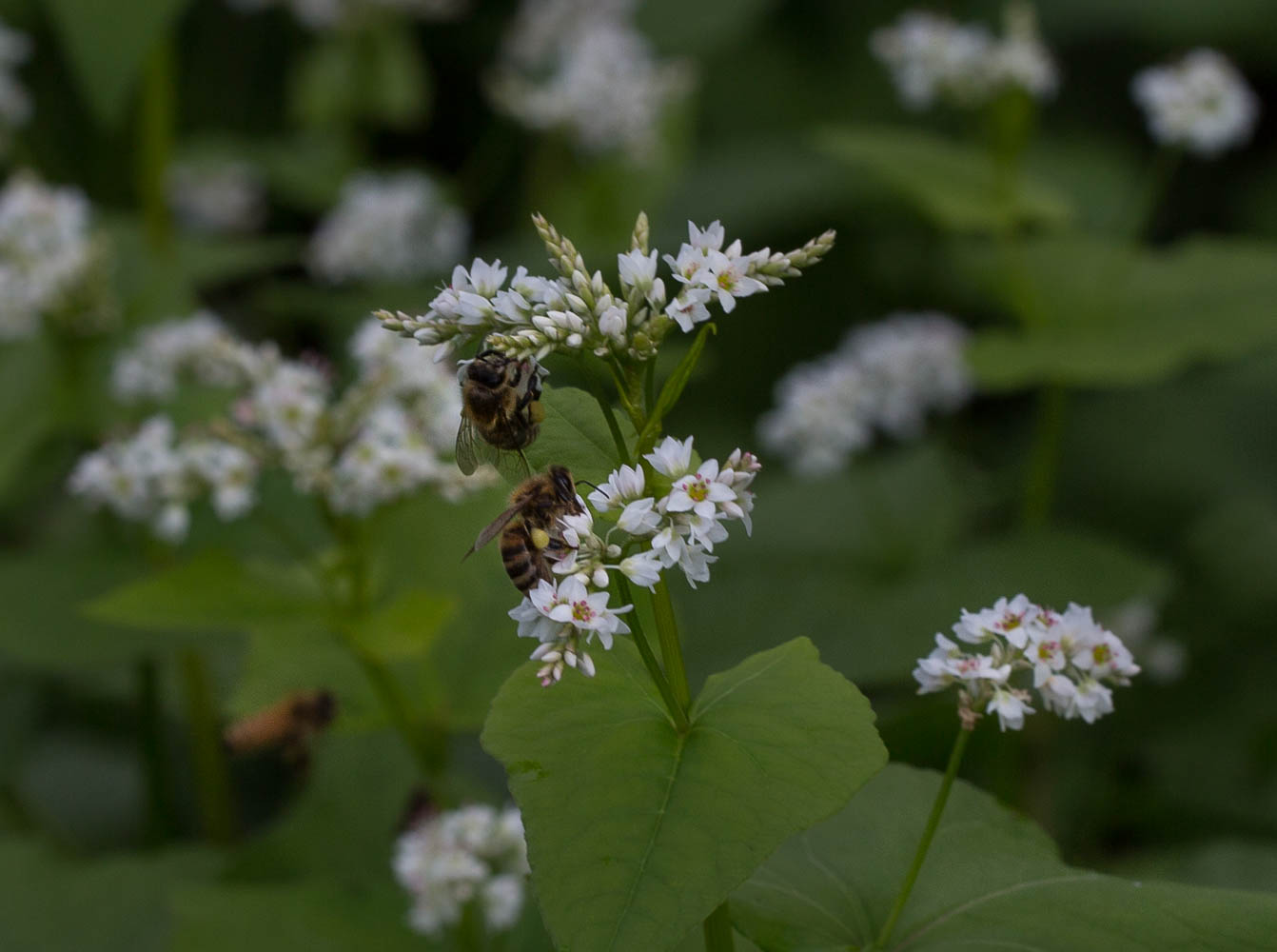 honey bees on buckwheat flowers