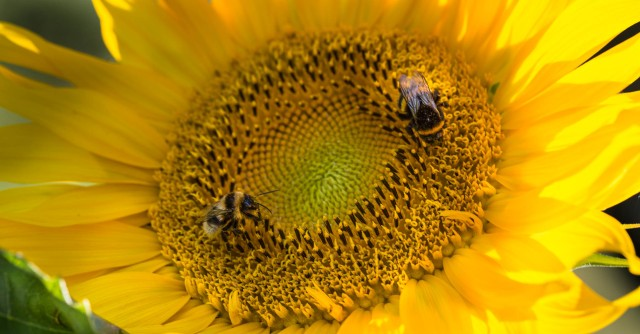 sunflower and bumblebees
