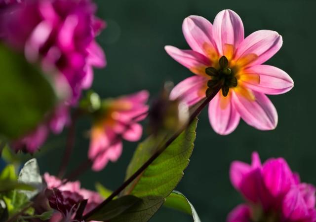 pink single dahlia