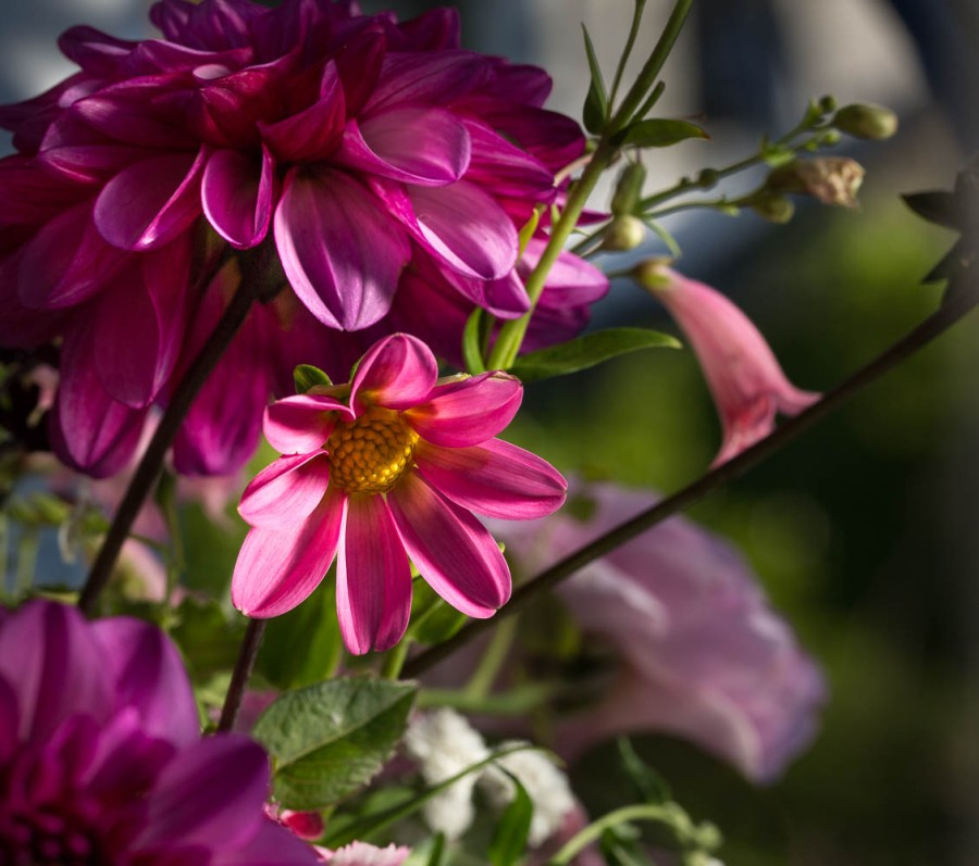 single pink miniature dahlia