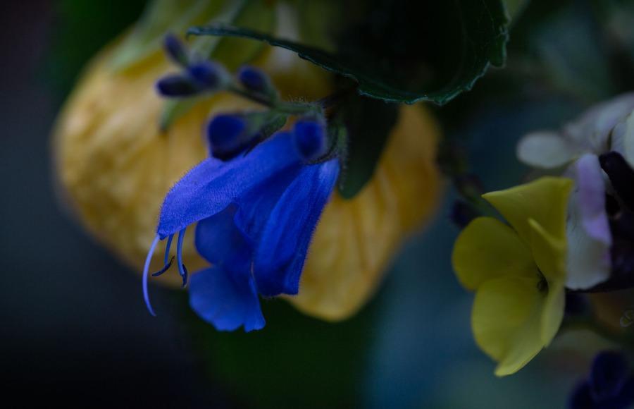 Salvia flower with Erysimum